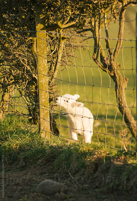 A newborn spring lamb in a fenced field by Andy Campbell for Stocksy United