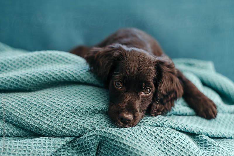 Adorable puppy resting on the sofa at home by Rebecca Spencer for Stocksy United