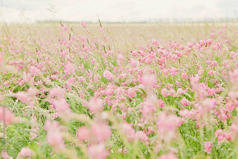 Pink flowers in field by Carey Shaw for Stocksy United