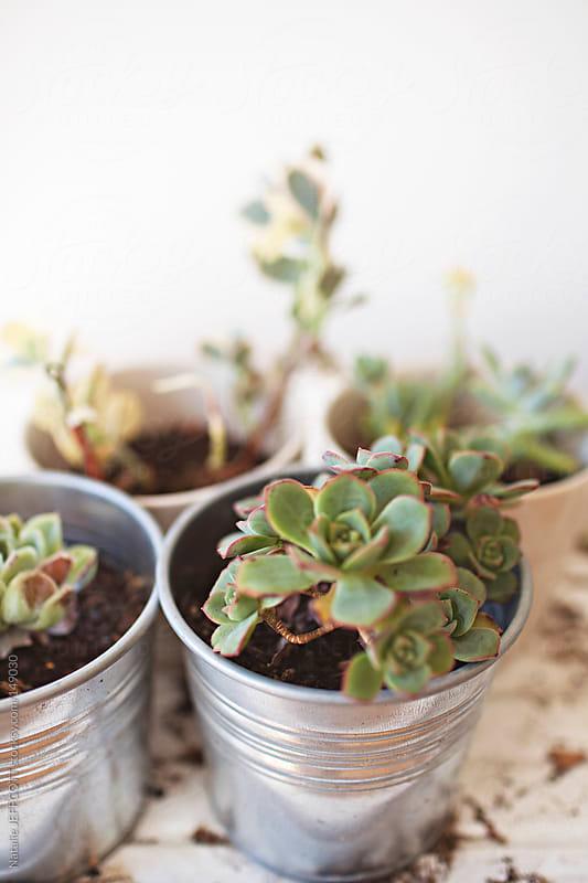 indoor succulent plants  by Natalie JEFFCOTT for Stocksy United