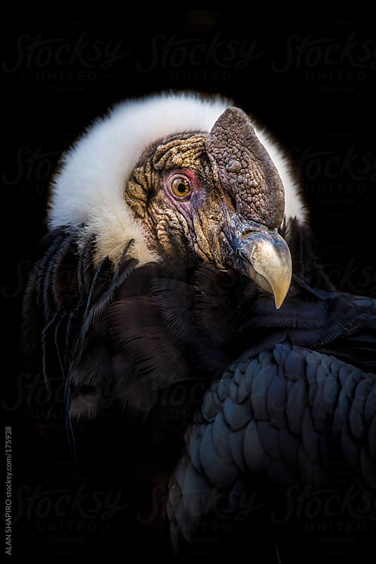 Male Andean Condor Portrait by ALAN SHAPIRO for Stocksy United