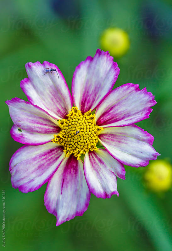 purple and yellow anemone by ALAN SHAPIRO for Stocksy United