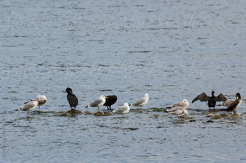 Seagulls and cormorants on stones in water by Melanie Kintz for Stocksy United