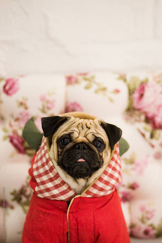 Happy pug by Jovana Rikalo for Stocksy United