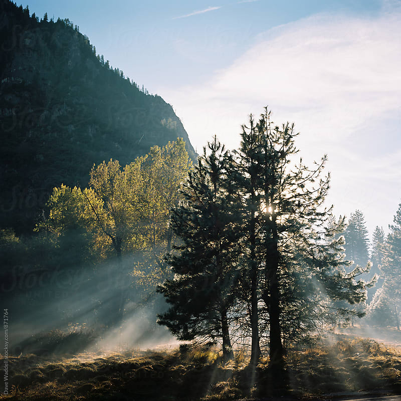Pine trees in Yosemite Valley by Dave Waddell for Stocksy United