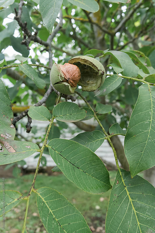 Walnuts ready to harvest from tree by Rowena Naylor for Stocksy United