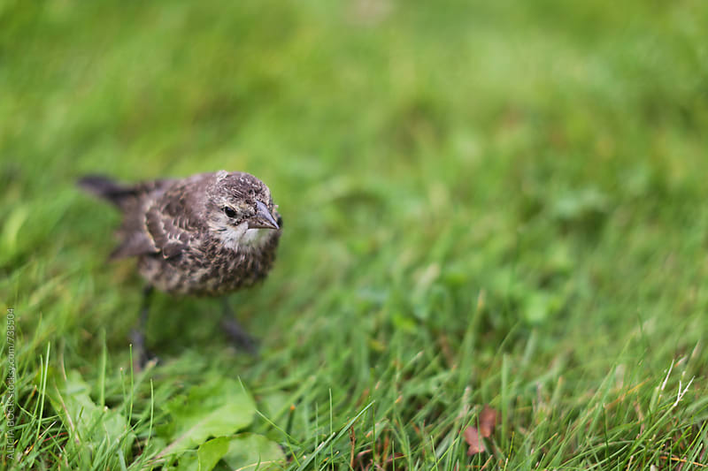 A Young Bird Rests In A Patch of Green Grass by ALICIA BOCK for Stocksy United
