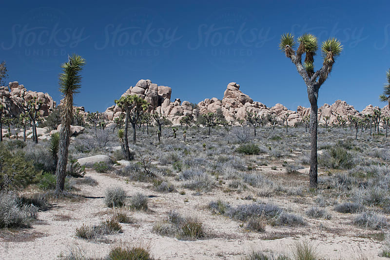 A field of Joshua Trees by Adam Nixon for Stocksy United