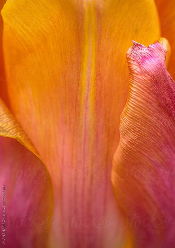 Orange tulip macro by alan shapiro for Stocksy United