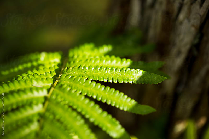 Close-up of a green fern by Adam Nixon for Stocksy United