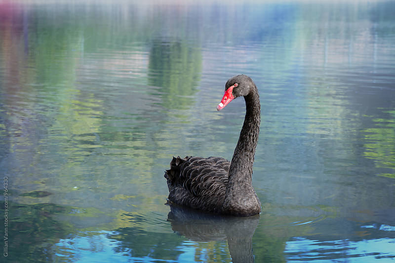 black swan on a lake with soft watercolour spring feel by Gillian Vann for Stocksy United