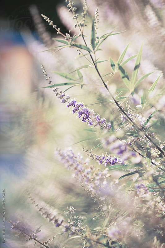 Flowers in sunset by Jovana Rikalo for Stocksy United