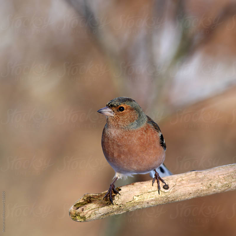 Common chaffinch perching on a dead branch by Marcel for Stocksy United