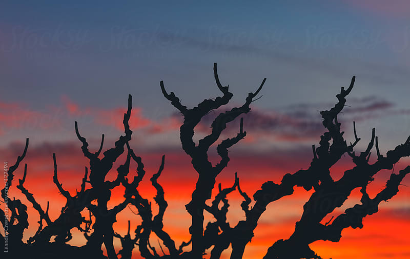 sunset lights in a grapevine field by Leandro Crespi for Stocksy United