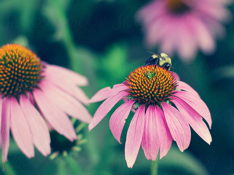 Bee on purple cone flower by Kerry Murphy for Stocksy United