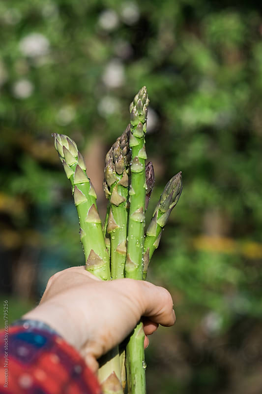 Handful of fresh asparagus just picked by Rowena Naylor for Stocksy United
