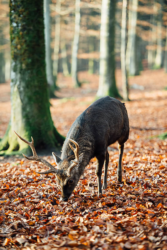 Sika deer by Peter Wey for Stocksy United