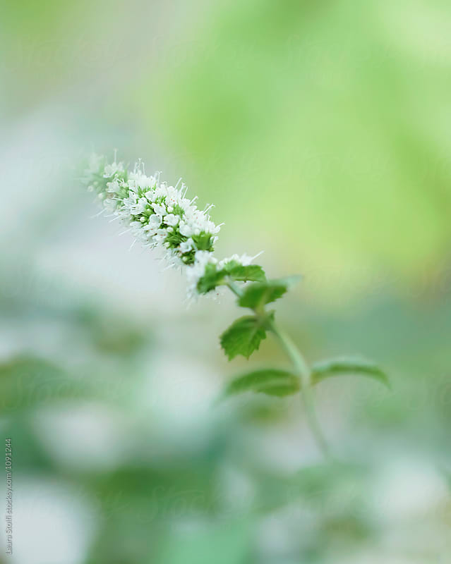 Mentha spike flowering amongst fresh green blurry leaves, macro by Laura Stolfi for Stocksy United
