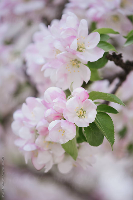 Pink spring blossom by Pixel Stories for Stocksy United