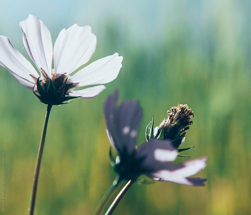 blossoming flower. by Shikhar Bhattarai for Stocksy United