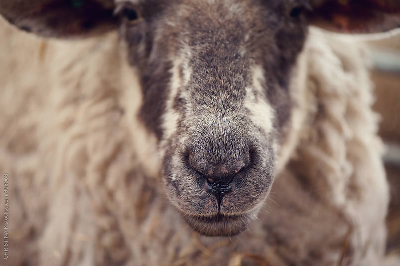 Close of a Sheep by Christina Kilgour for Stocksy United