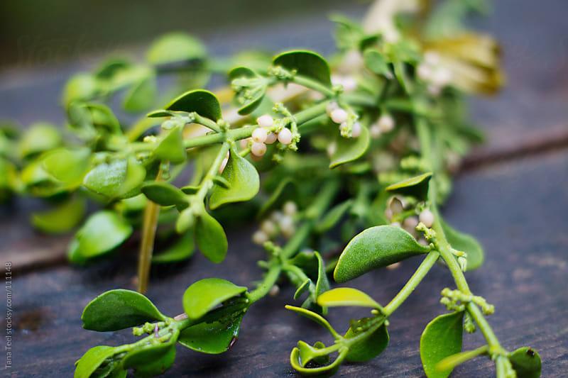 freshly picked mistletoe  by Tana Teel for Stocksy United