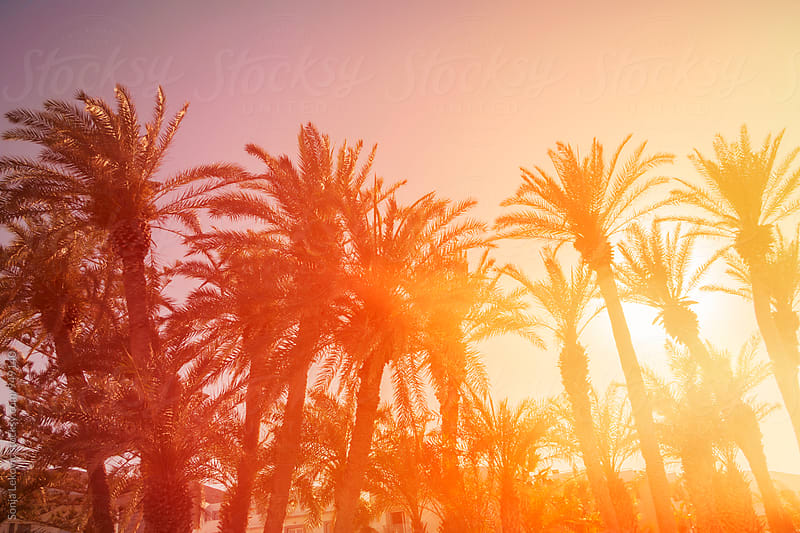 palm trees in the sunlight by Sonja Lekovic for Stocksy United