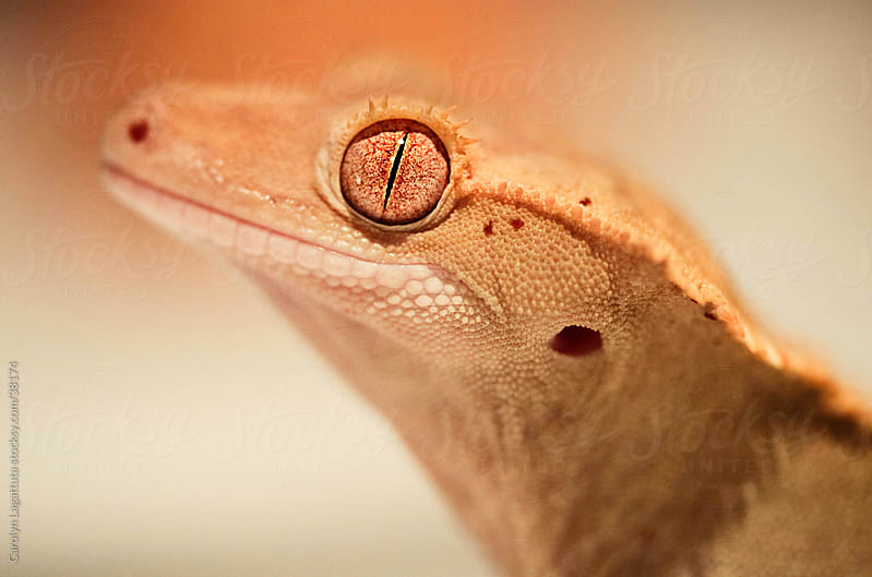 Close shot of an eyelash crested gecko's profile by Carolyn Lagattuta for Stocksy United