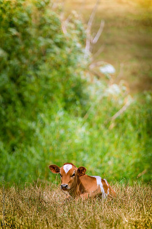 Dairy Calf Sitting in Field by Rowena Naylor for Stocksy United