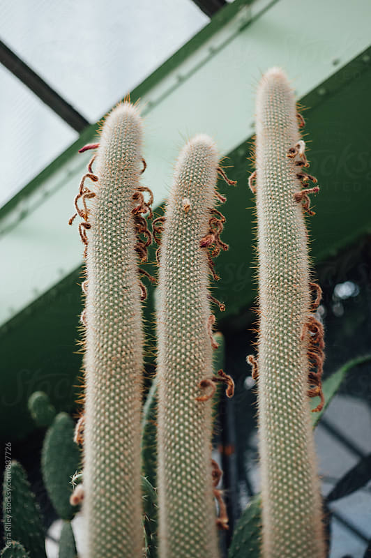 Cacti in Greenhouse by Kara Riley for Stocksy United