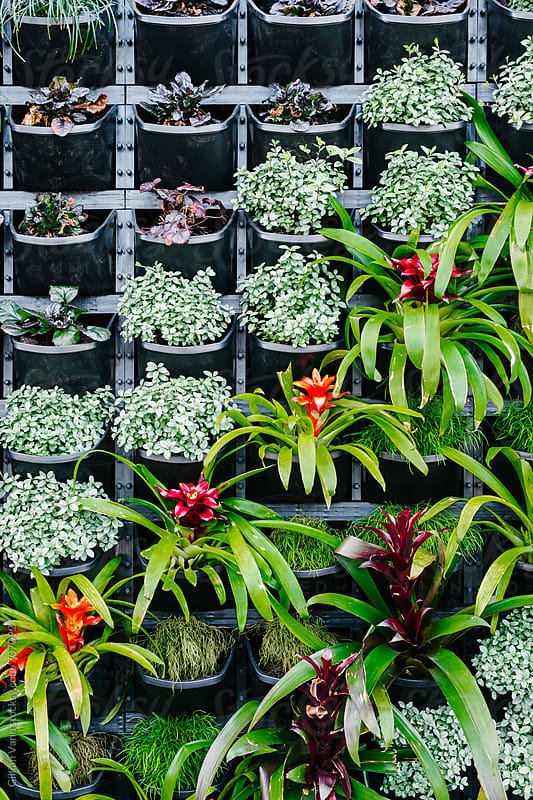 vertical garden featuring red bromeliads by Gillian Vann for Stocksy United