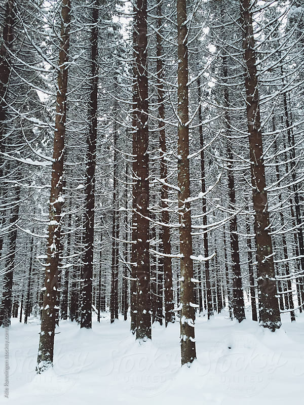 Tall trees after a recent snowfall by Atle Rønningen for Stocksy United