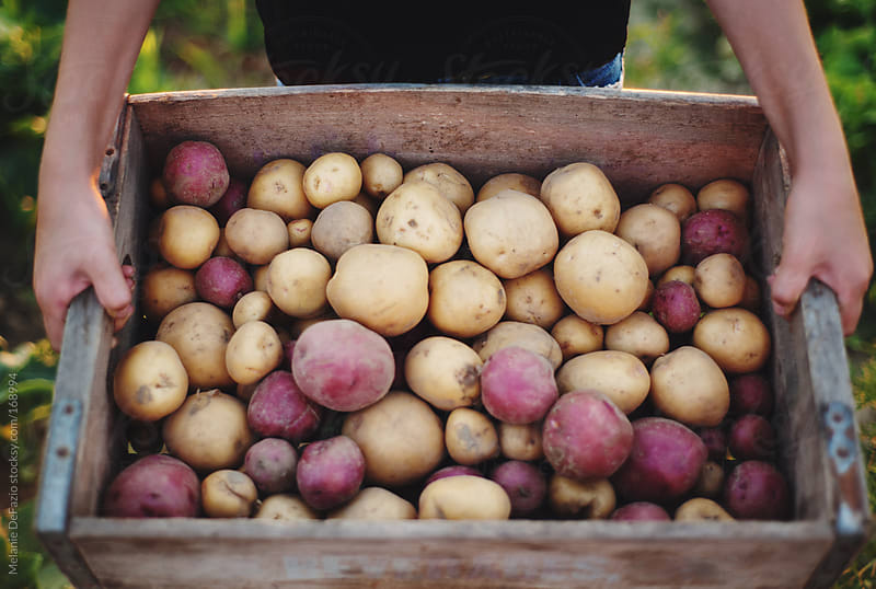 potatoes by Melanie DeFazio for Stocksy United