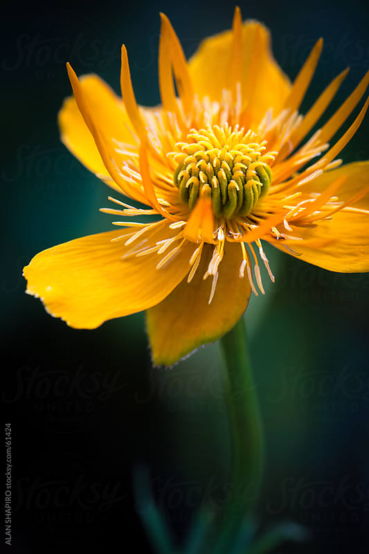 Trollius in bloom by ALAN SHAPIRO for Stocksy United