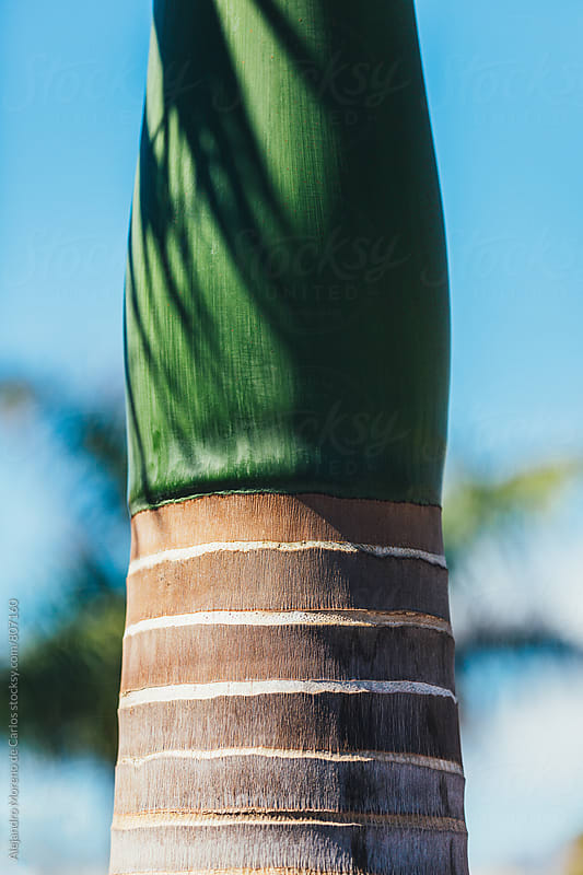 Close up of the top trunk of a palm tree on a clear blue sunny summer day by Alejandro Moreno de Carlos for Stocksy United