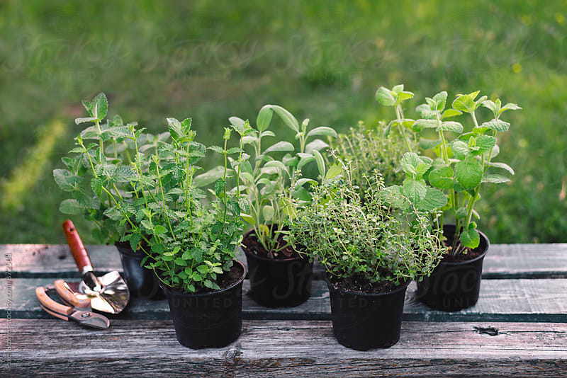 Thyme and mint plants with gardening tools by Pixel Stories for Stocksy United
