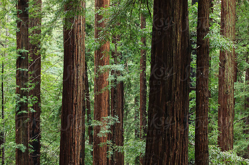 California Redwoods by Paul Tessier for Stocksy United