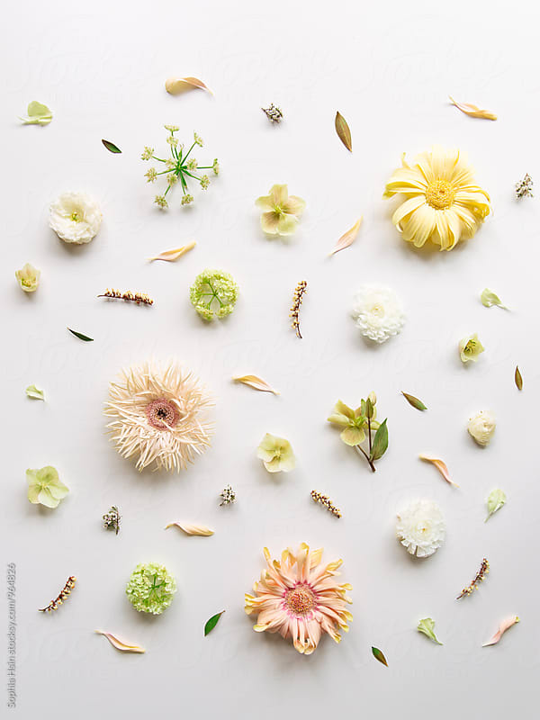 Gerbera, neatly organized by Sophia Hsin for Stocksy United