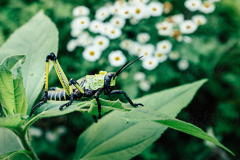 Green and Yellow milkweed locust by Micky Wiswedel for Stocksy United