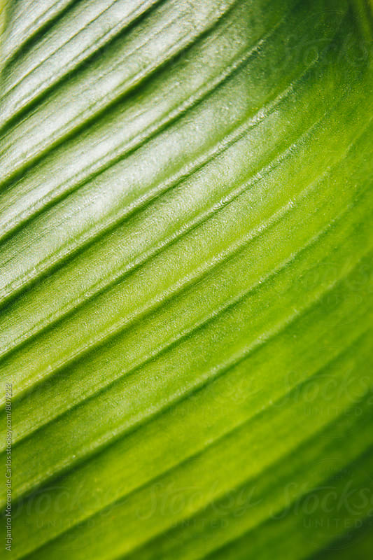 Close up of a green tropical plant leaf by Alejandro Moreno de Carlos for Stocksy United