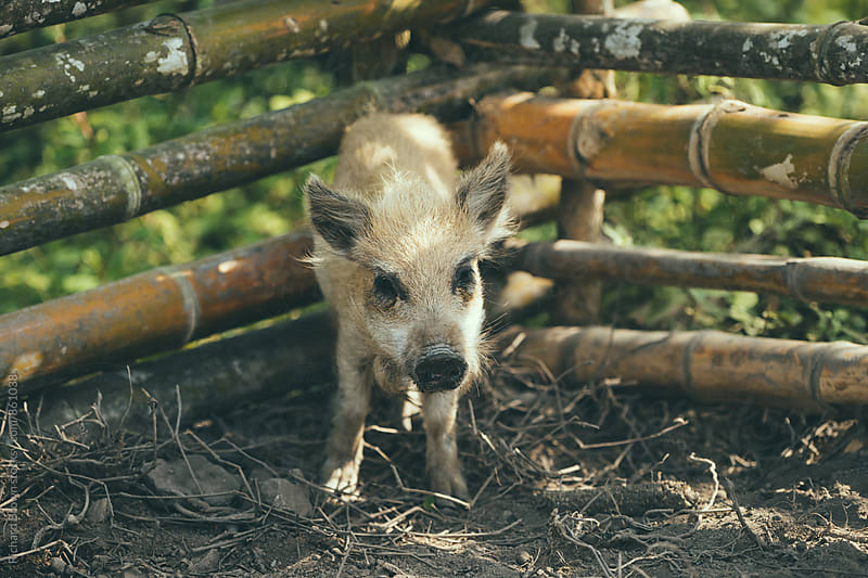 Baby Pig by Richard Brown for Stocksy United