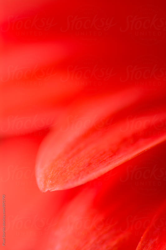 Red Gerbera macro details by Pixel Stories for Stocksy United