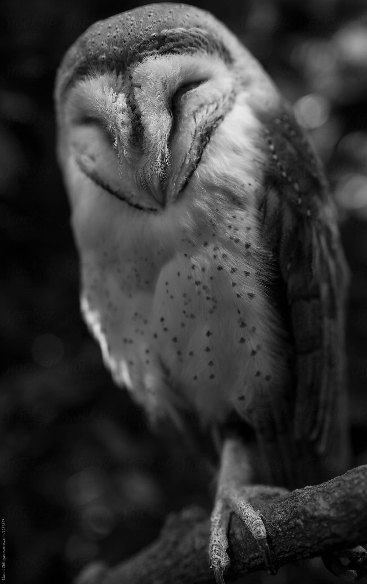 Black and white portrait of a barn owl