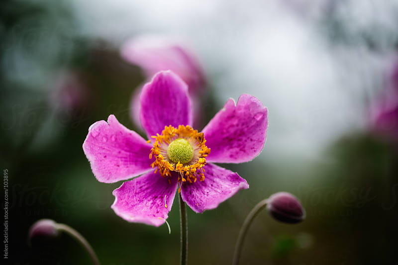 Pink anemone flower by Helen Sotiriadis for Stocksy United