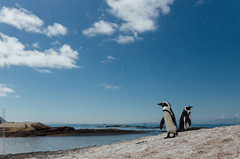 African Penguins by Hillary Fox for Stocksy United