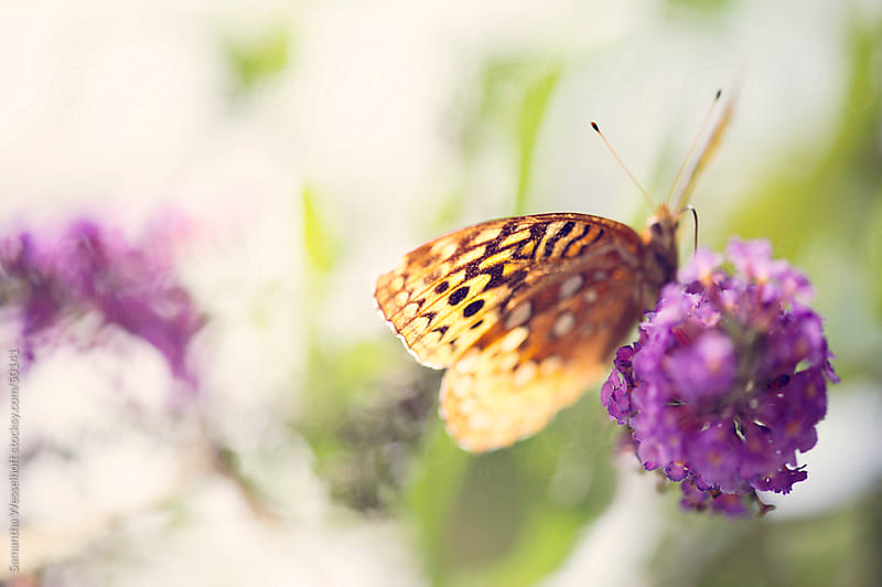 golden butterfly on butterfly bush by Samantha Wesselhoft for Stocksy United