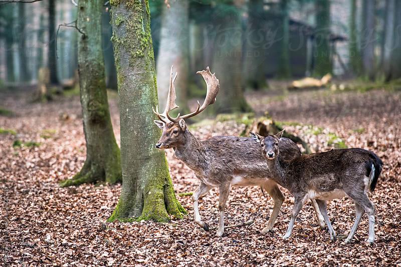 Wildlife: sika deer (lat. Cervus nippon) by Peter Wey for Stocksy United