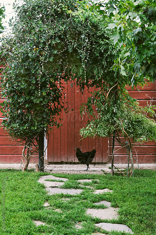 black chicken underneath an arbor of vines by Deirdre Malfatto for Stocksy United