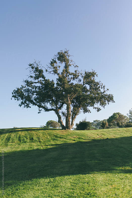 Large tree on top of a sunny hill covered with grass by Denni Van Huis for Stocksy United