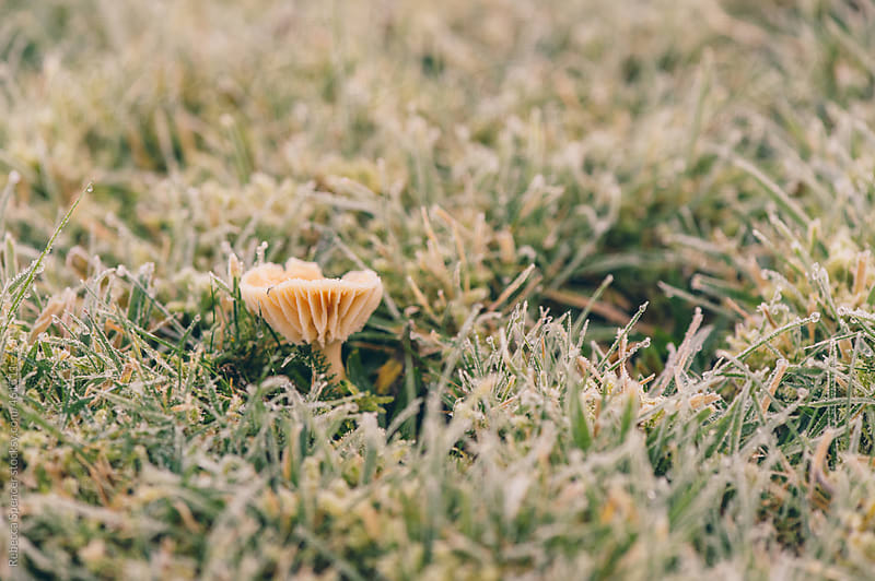 Solo pale mushroom in the frosty grass by Rebecca Spencer for Stocksy United